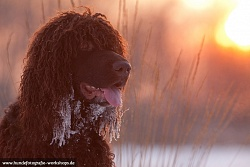 irish-water-spaniel-30