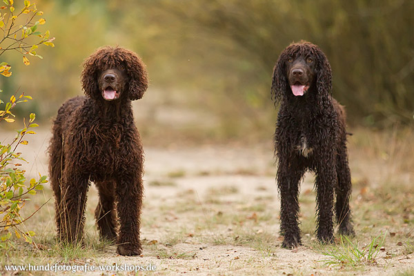 irish-water-spaniel-262