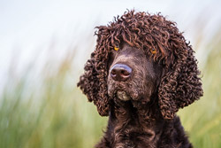 Thumbnail of the category Aurea The Waterspaniel - Arriba